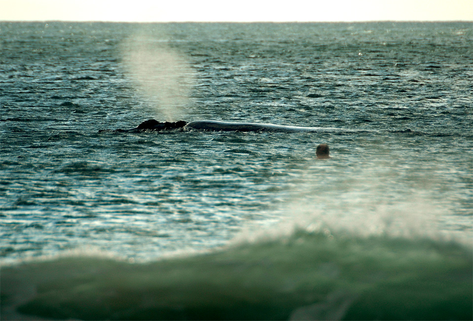 Plettenberg Bay whales | Man swam already half way to the whale close at the Robberg Beach.