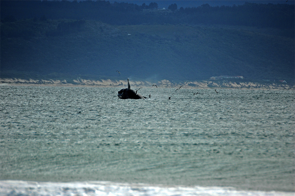 Plettenberg Bay whales | Jumping whale in the Bay of Plettenberg.