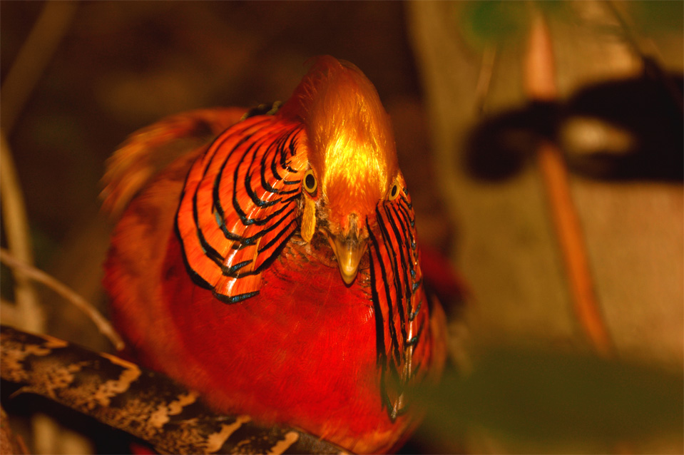 "Golden Pheasant or ""Chinese Pheasant"", (Chrysolophus pictus)."