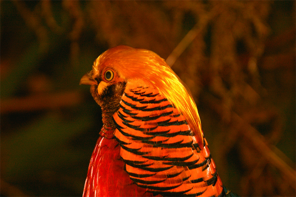 "What nature is able to produce. Golden Pheasant or ""Chinese Pheasant"", (Chrysolophus pictus)."