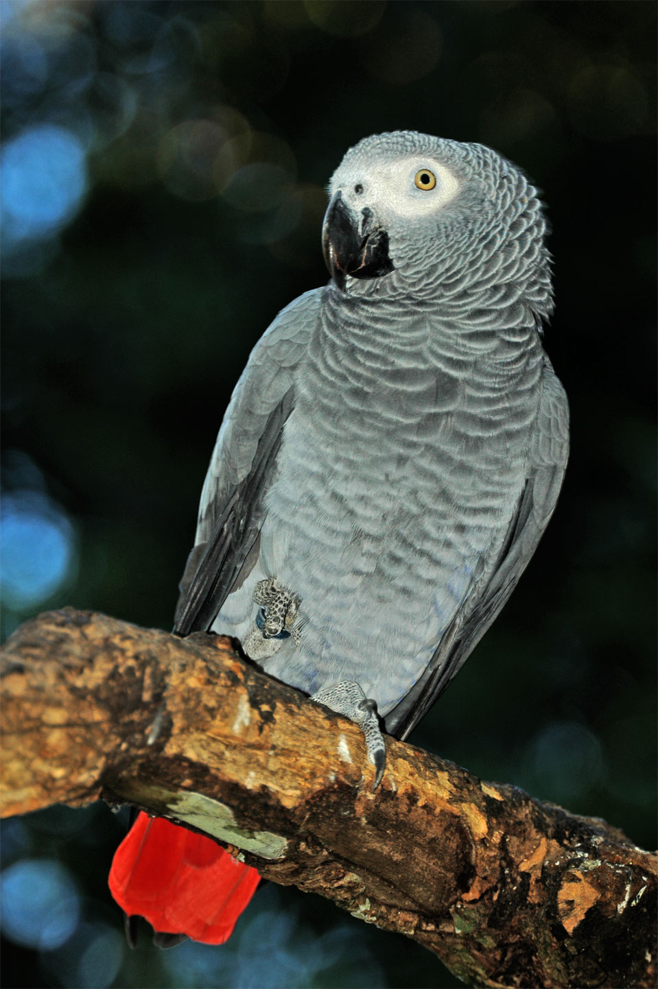 A African Grey Parrot (Psittacus erithacus).