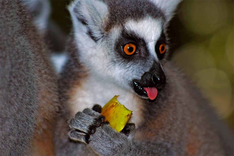 The ring-tailed lemur (Lemur catta).
