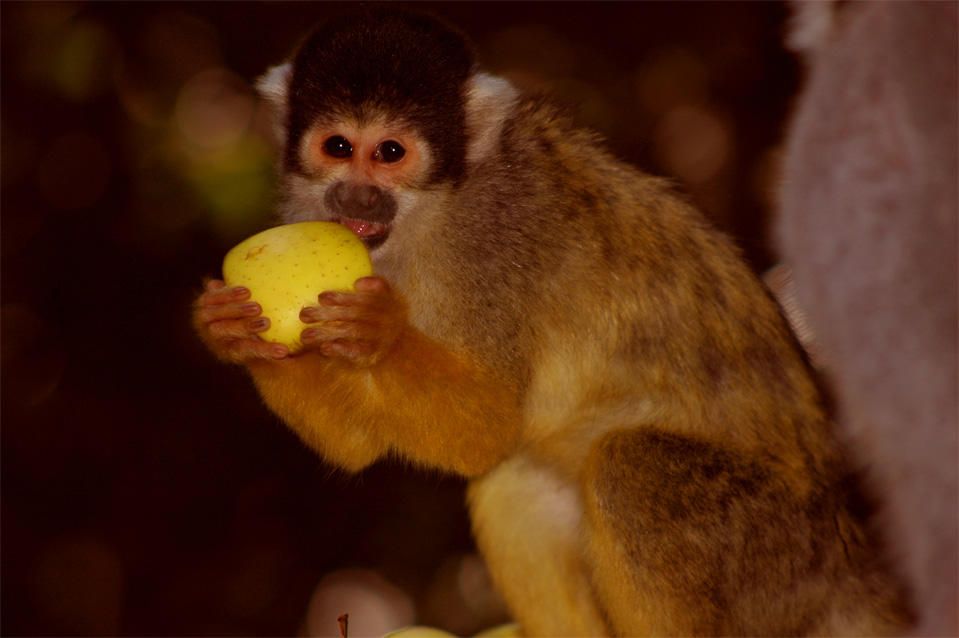 The Squirrel Monkeys (Saimiri boliviensis).