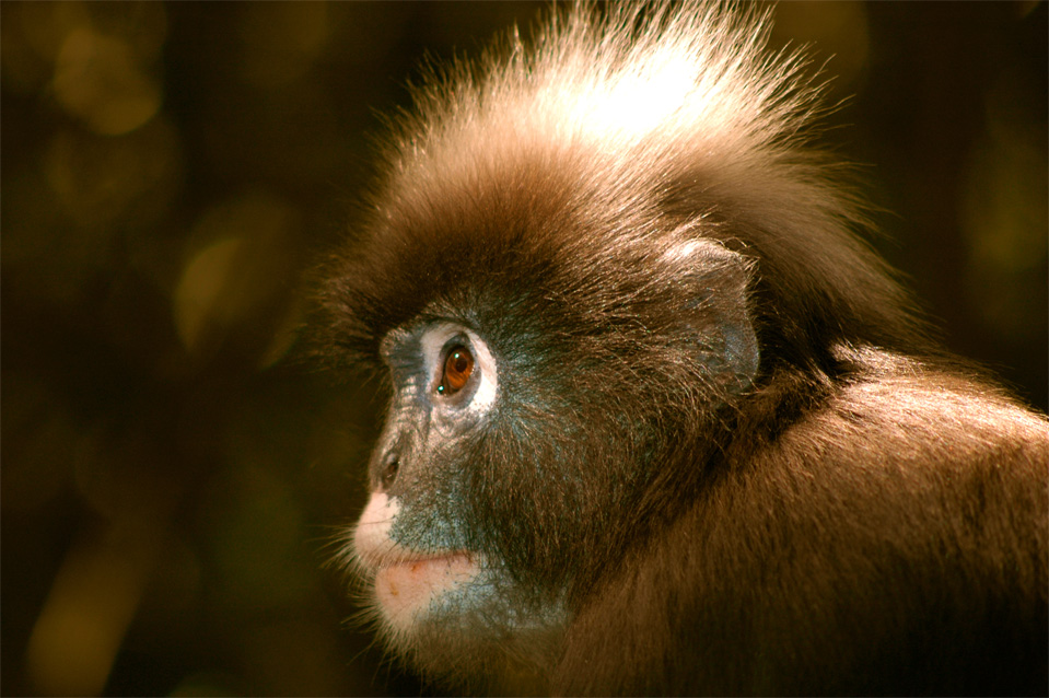 The face of the spectacled langur (Trachypithecus obscurus).