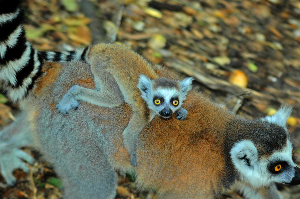 A little baby Katta Lemur rides on the back of its mom.