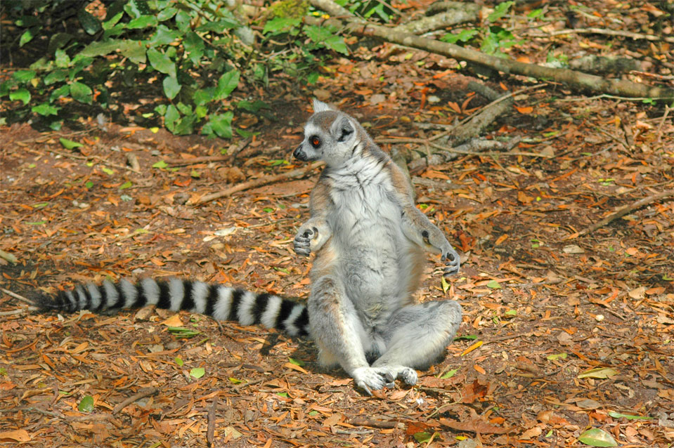 A Katta (Lemur catta) in its typical sit posture! Looks like a meditate Buddhist.