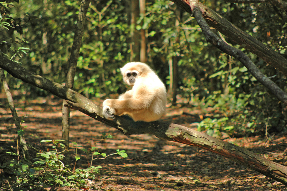 A beautiful Lar Gibbon (Hylobates lar) sits on a trunk of a tree.