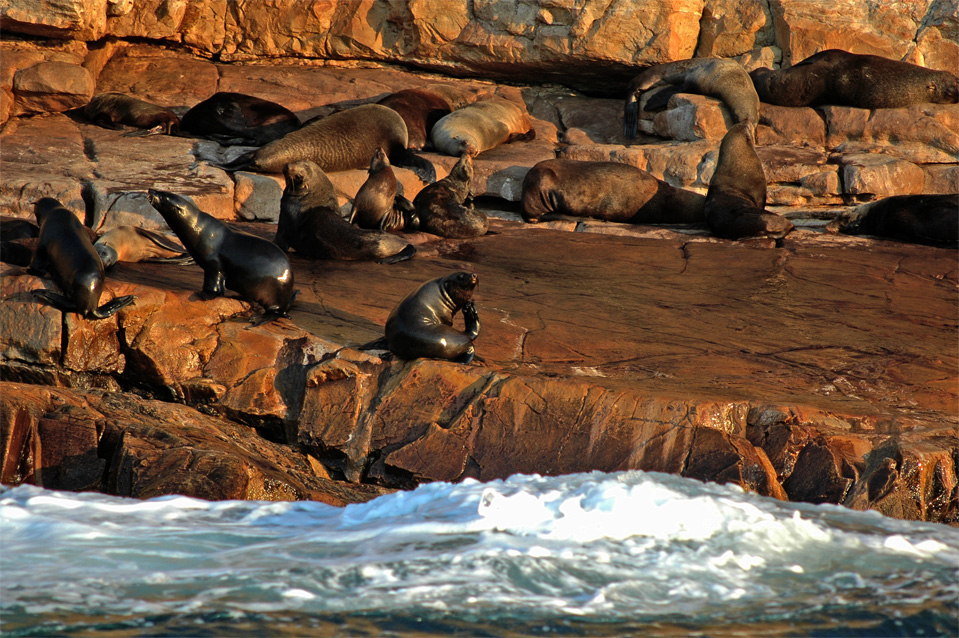 Our fur seals living on the rocky coastline of Robberg Nature Reserve in Plettenberg Bay.