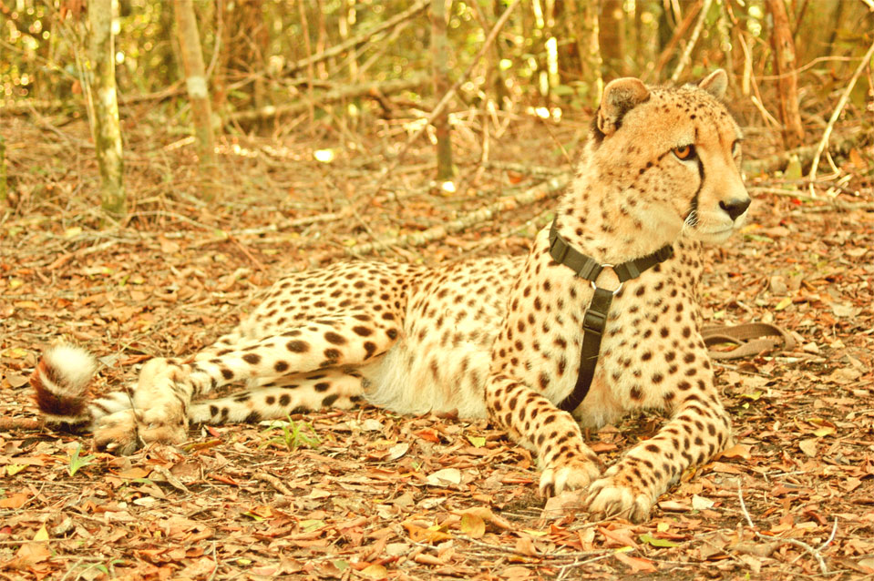 I'm a Cheetah male and 6 years old in the year 2013.