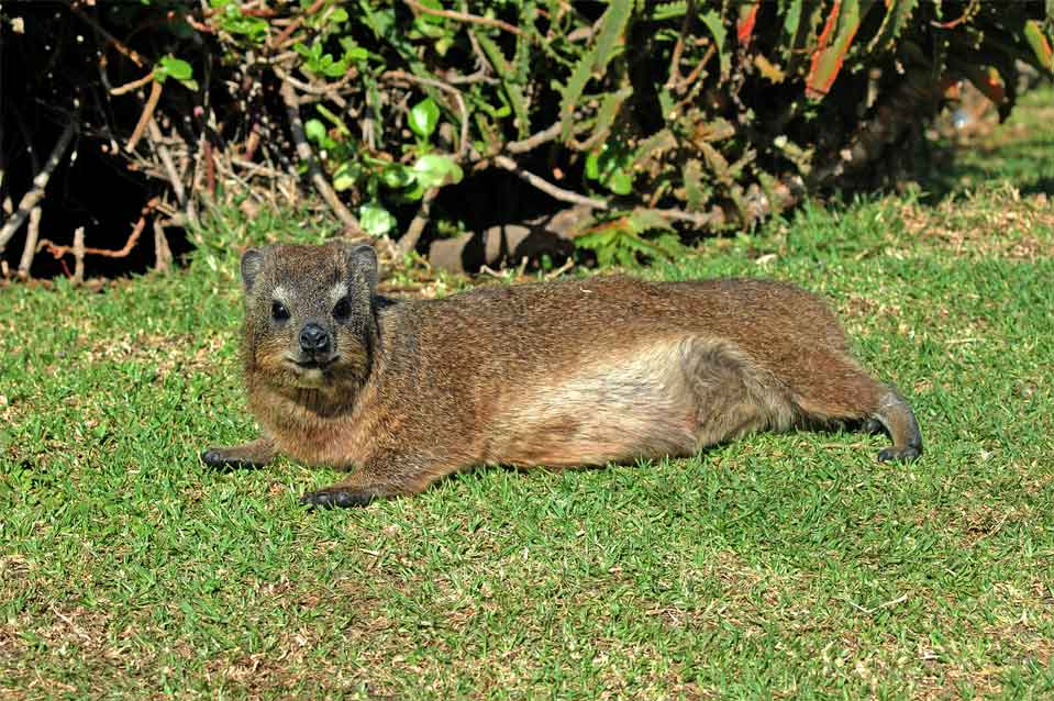 On the way is a Dassie enjoying a sun bath.