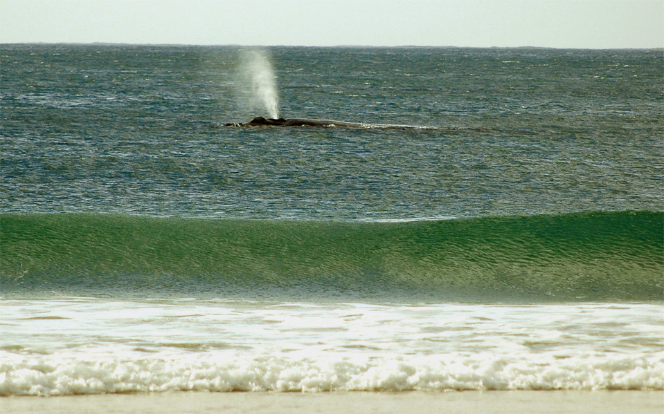 Plettenberg Bay whales | You can see clearly the blow out of a Southern Right Whale in the Bay of Plettenberg.