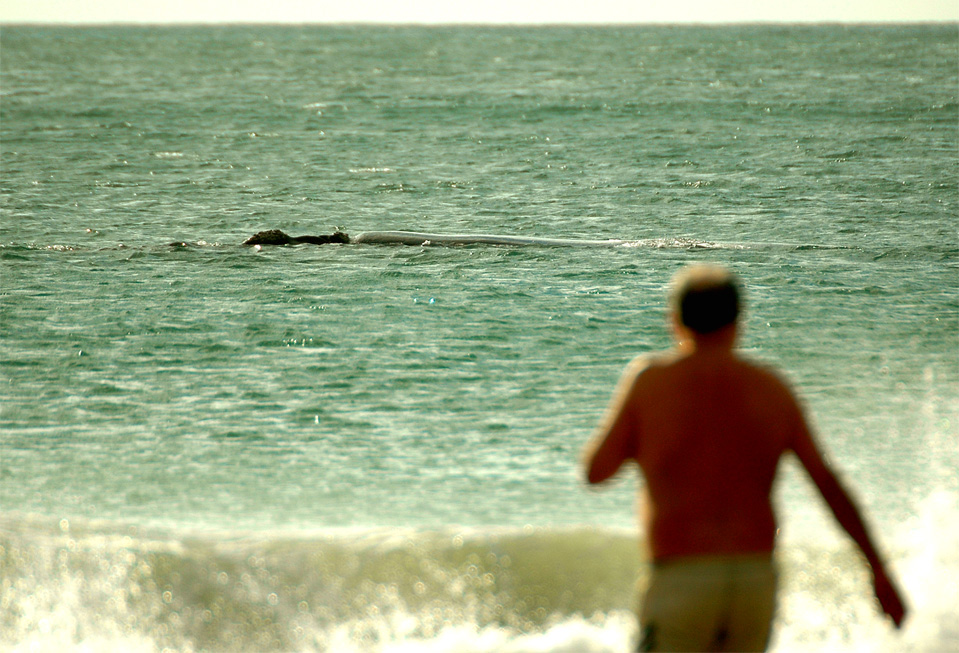 Plettenberg Bay whales | Man is going to swim to the whale close at the beach.