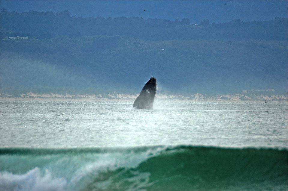 Plettenberg Bay whales | A Southern Right Whale heave himself out of the water in the Bay of Plettenberg.