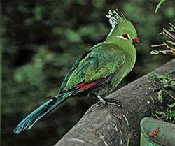 Ein Knysna Lorie in Birds of Eden bei Plettenberg Bay.