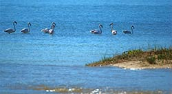 Flamingos in der Lagune von Plettenberg Bay