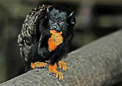 Ein Golden Handed Tamarin-Äffchen in Birds of Eden bei Plettenberg Bay.